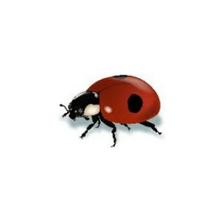 Coccinella Adalia25 - NON DISPONIBILE